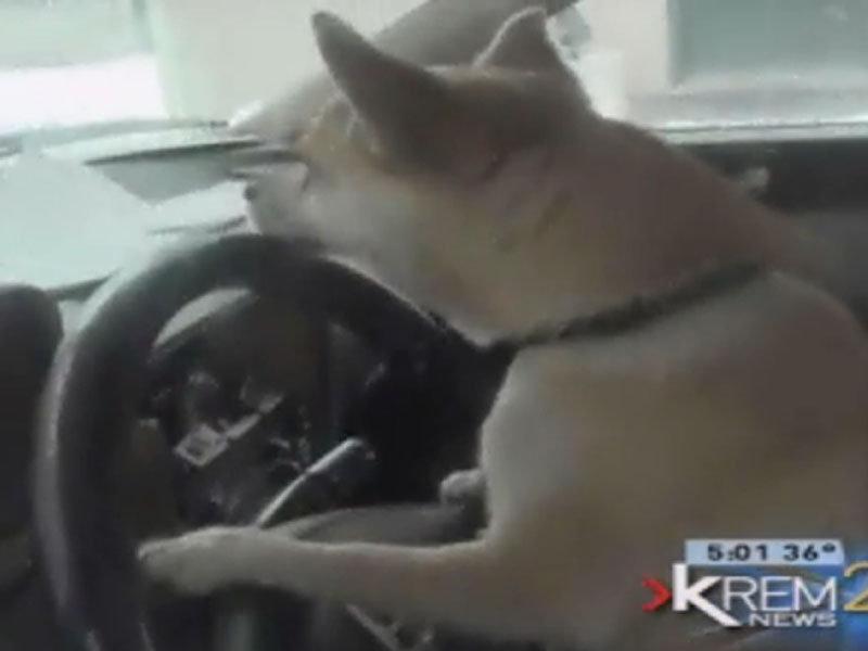 淘气小狗趁主人不在开走汽车 酿成车祸