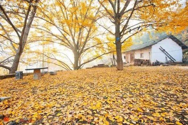 下,银杏树枝叶构成的天然山屏树伞,守护着农家小院,傍晚,袅袅炊烟